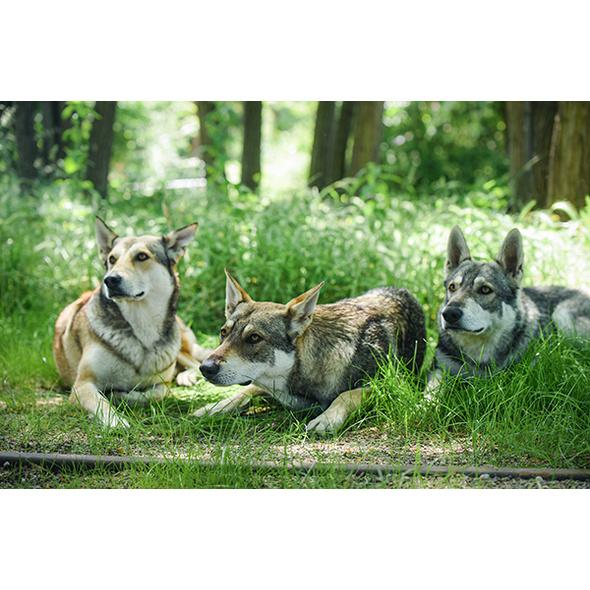 Wolfshund Schnuppertour
